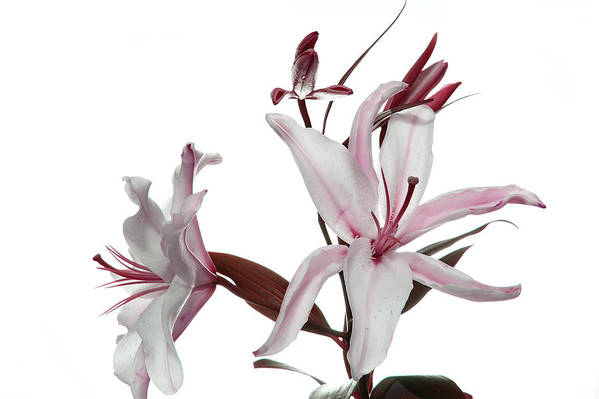 Pink Lily Art Print featuring the photograph Pink Lily by Peter Dorrell