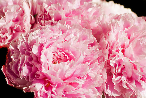 Botany Art Print featuring the photograph Pink Peony Bouquet by Mary Lane