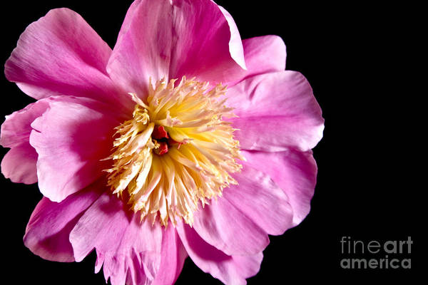 Flowers Art Print featuring the photograph Pink Petals by Robin Lynne Schwind