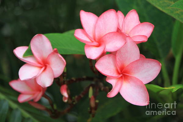 Pink Plumerias Art Print featuring the photograph Pink Plumerias by Edward R Wisell