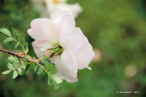Roses Art Print featuring the photograph Pink Rose by Carolyn Postelwait
