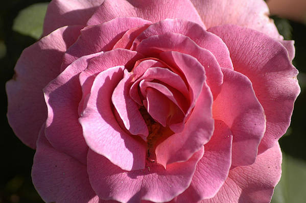 Clay Art Print featuring the photograph Pink Rose by Clayton Bruster