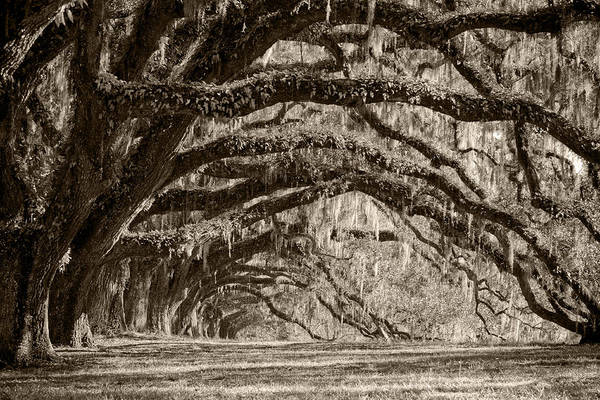 Live Oak Art Print featuring the photograph Plantation Drive Live Oaks by Dustin K Ryan
