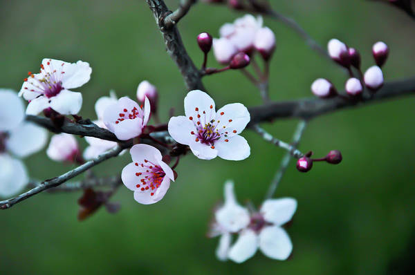 Plum Tree Art Print featuring the photograph Plum Tree Blossom by Marie Janssen