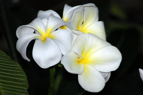 Art Print featuring the photograph Plumeria by JK Photography