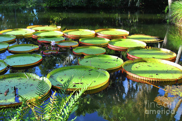 Pods Art Print featuring the photograph Pods Of The Pond by Jost Houk