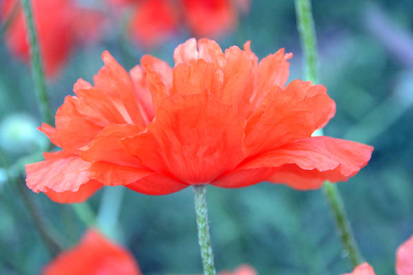 Papaver Somniferum. Opium Art Print featuring the photograph Poppy Profile by Angelina Vick