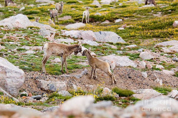Antlers Art Print featuring the photograph Practicing Baby Bighorn Sheep On Mount Evans Colorado by Steve Krull