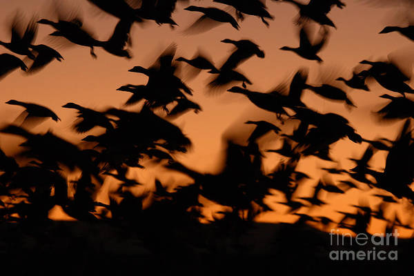 Geese Art Print featuring the photograph Pre-dawn Flight Of Snow Geese Flock by Max Allen