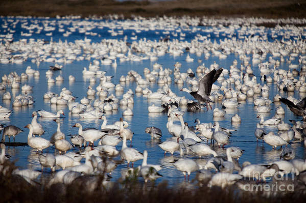 Birds Art Print featuring the photograph Prelude To The Takeoff by Irene Abdou