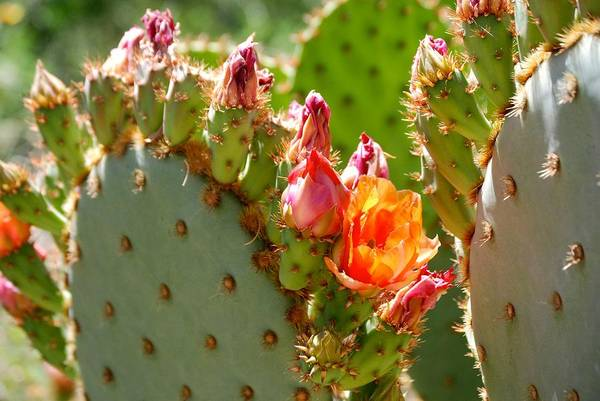 Prickly Pear Art Print featuring the photograph Prickly Pear Blooms by AJ Harlan
