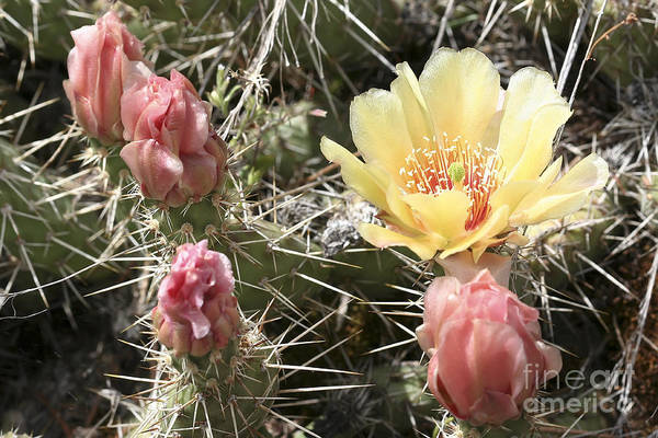 Prickly Pear Cactus Art Print featuring the photograph Prickly Pear Cactus by Teresa Zieba
