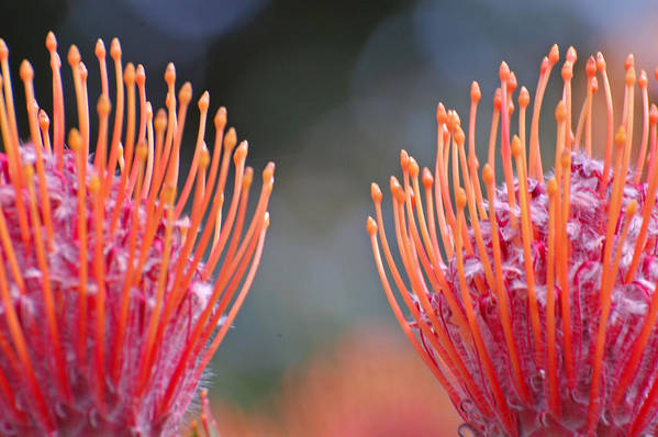 Protea Art Print featuring the photograph Protea 6 by Jean Booth