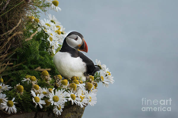 Flowers Art Print featuring the photograph Puffin On Latrabjarg Cliff by Ming Gullo