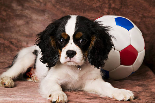Puppy Dog Cute Doggy Domestic Pup Pet Pedigree Canine Creature Soccer Ball Art Print featuring the photograph Puppy With Ball by Garry Gay