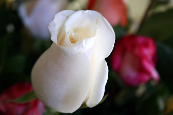 Pure Art Print featuring the photograph Pure White Rose Bud by Bob Gardner