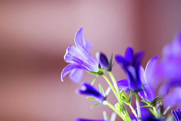 Bellflower Art Print featuring the photograph Purple Campanula Blooms by David Prahl