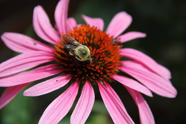 Purple Cone Flower Art Print featuring the photograph Purple Cone Flower 3 by Rebecca Pavelka