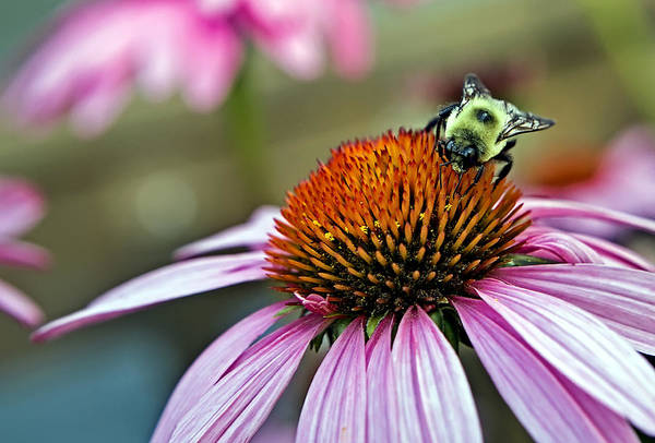 Macro Art Print featuring the photograph Purple Cone Flower And Bee by Al Mueller