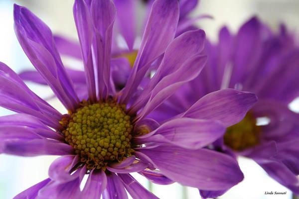 Flowers Purple Macro Daisy Spring Yellow Digital Photography Art Print featuring the photograph Purple Delight by Linda Sannuti