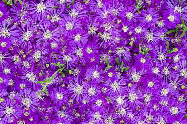 Purple Flowers Print featuring the photograph Purple Flowers by Frank Tschakert