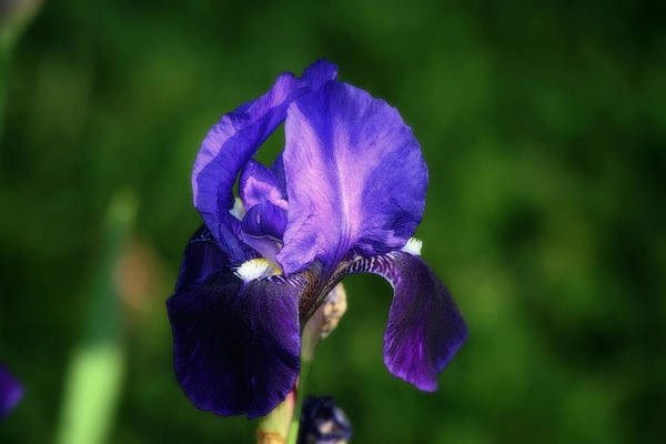 Floral Art Print featuring the photograph Purple Iris by Martin Morehead