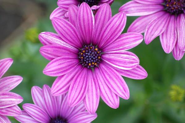 Purple Flower Art Print featuring the photograph Purple by Jennifer Englehardt