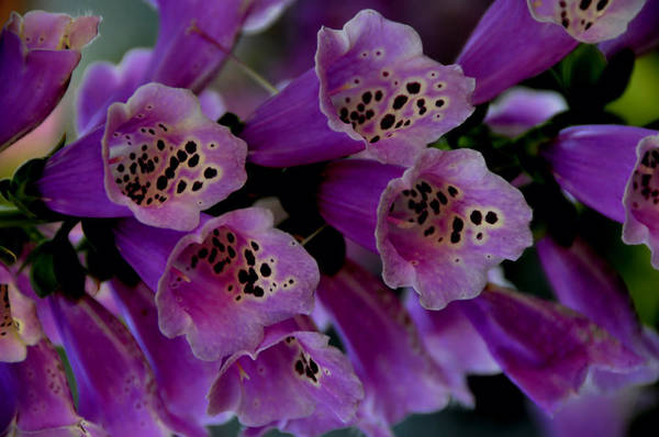 Purple Art Print featuring the photograph Purple Silk by Lyle Huisken