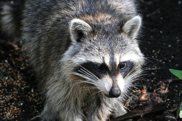 Small Mammal Art Print featuring the photograph Raccoon by Alan Lenk