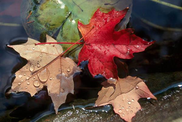 Fall Art Print featuring the photograph Rain Drops On Leaves by Raju Alagawadi