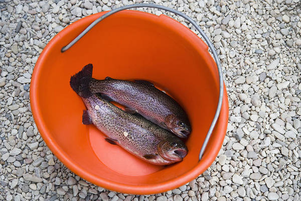 2 Art Print featuring the photograph Rainbow Trout In Bucket by Andersen Ross