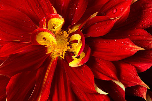 Floral Art Print featuring the photograph Rainy Day Dahlia by Mary Jo Allen