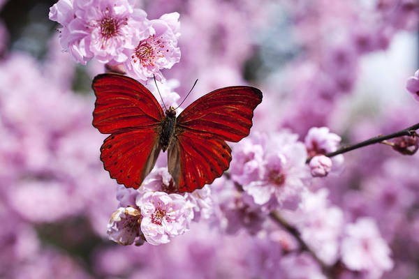 Red Art Print featuring the photograph Red Butterfly On Plum Blossom Branch by Garry Gay