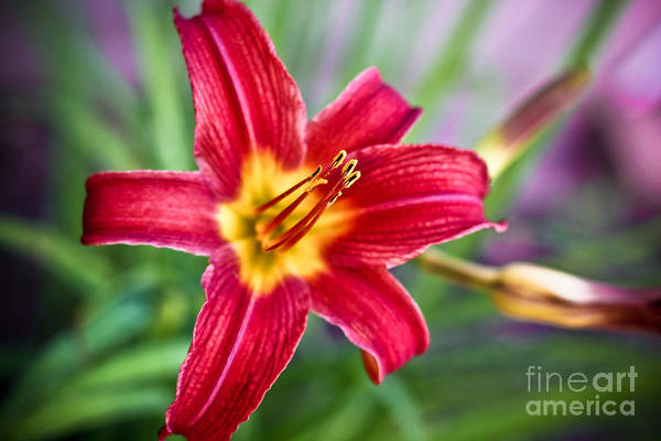 red Daylilies Art Print featuring the photograph Red Daylily by Ryan Kelly