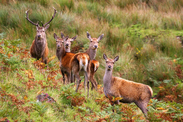 Scotland Art Print featuring the photograph Red Deer In The Scottish Highlands by John McKinlay