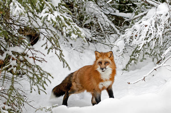 Fox Art Print featuring the photograph Red Fox In Winter by Scott Read
