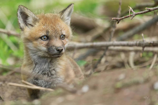 Red Art Print featuring the photograph Red Fox Kit by Everet Regal