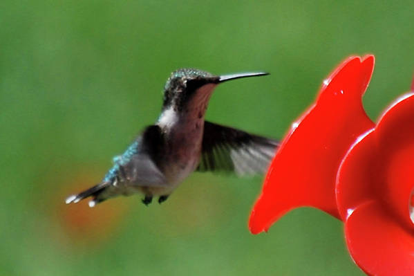 Hummingbird Art Print featuring the photograph Red Is My Favorite Color by Lori Tambakis