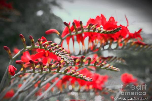 Glove Art Print featuring the photograph Red Lady Fingers by Rebecca Stephens