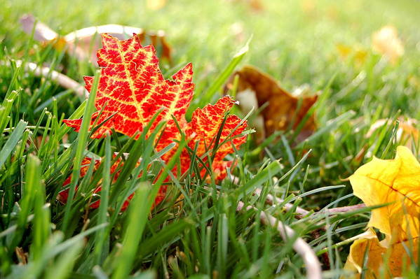 Leaf Art Print featuring the photograph Red Leaf In Grass by Jennifer Englehardt