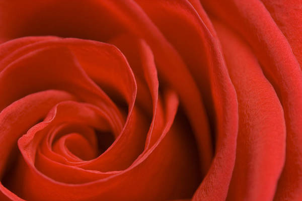 Rose Art Print featuring the photograph Red Rose by Bernice Williams