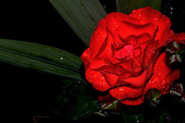 Macro Art Print featuring the photograph Red Rose by Luminita Zamfir
