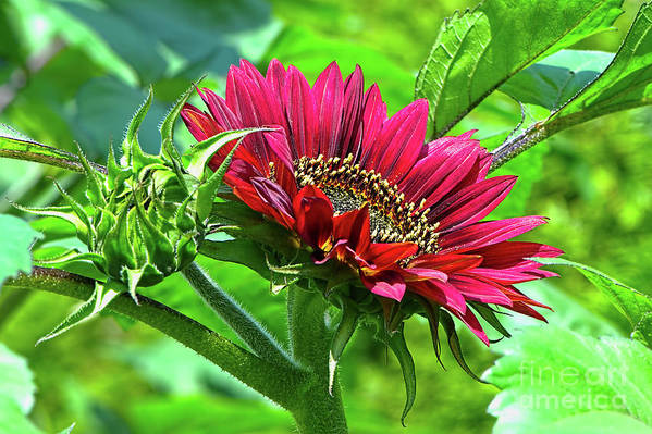Red Sunflower Art Print featuring the photograph Red Sunflower by Sharon Talson