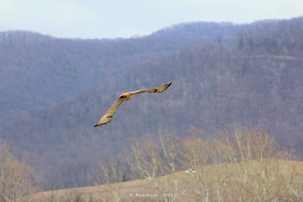 Red Tailed Hawk Art Print featuring the photograph Red Tailed Hawk In Flight by Carolyn Postelwait