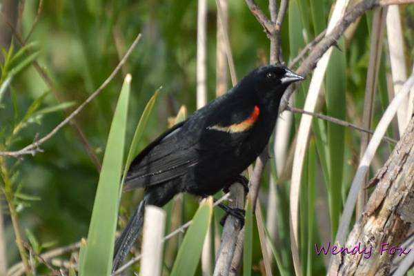 Red Art Print featuring the photograph Red-winged Blackbird by Wendy Fox