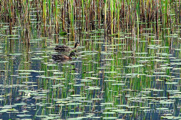 Reflections Art Print featuring the photograph Reflections On Duck Pond by Sharon Talson