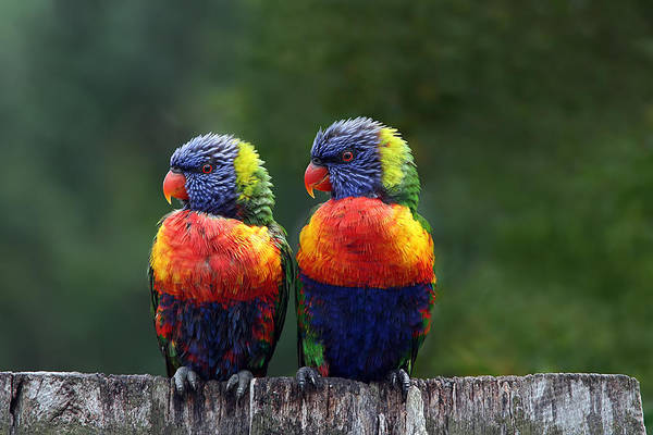 Lorikeets Art Print featuring the photograph Rendezvous In The Rain by Lesley Smitheringale