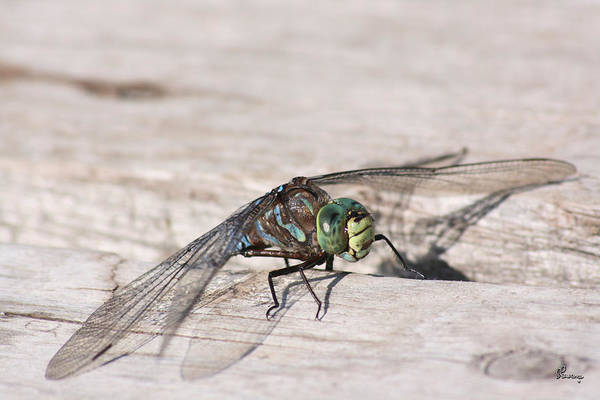Dragonfly Nature Bug Flying Insect Wings Eyes Colorful Creature Art Print featuring the photograph Rescued Dragonfly by Andrea Lawrence