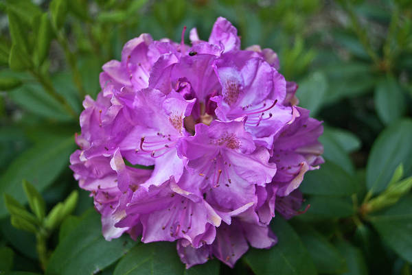 Rhododendron Art Print featuring the photograph Rhododendron Elegance by Douglas Barnett