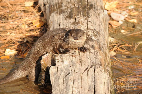 River Otter Art Print featuring the photograph River Otter by Dennis Hammer